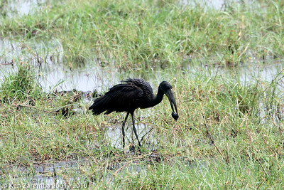 African openbill with a mussel it is about to open