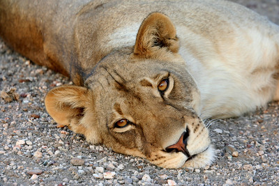 A Lioness taking it easy and showing no concern but a curosity about us