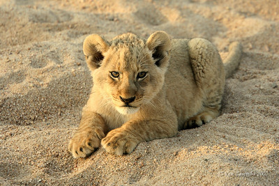 A Lion cub checking us out. Don't you just want to pick it up and pet it?